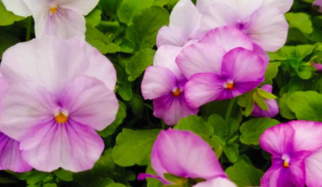 Plant Violas Now